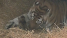 Mazyria, an endangered Amur tiger, gave birth on April 30 after 104 days of pregnancy.