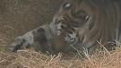 Mazyria, an endangered Amur tiger, gave birth on April 30 after 104 days of pregnancy.