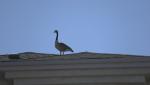 Balcony goose