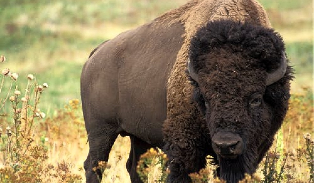 Bison in Timmins