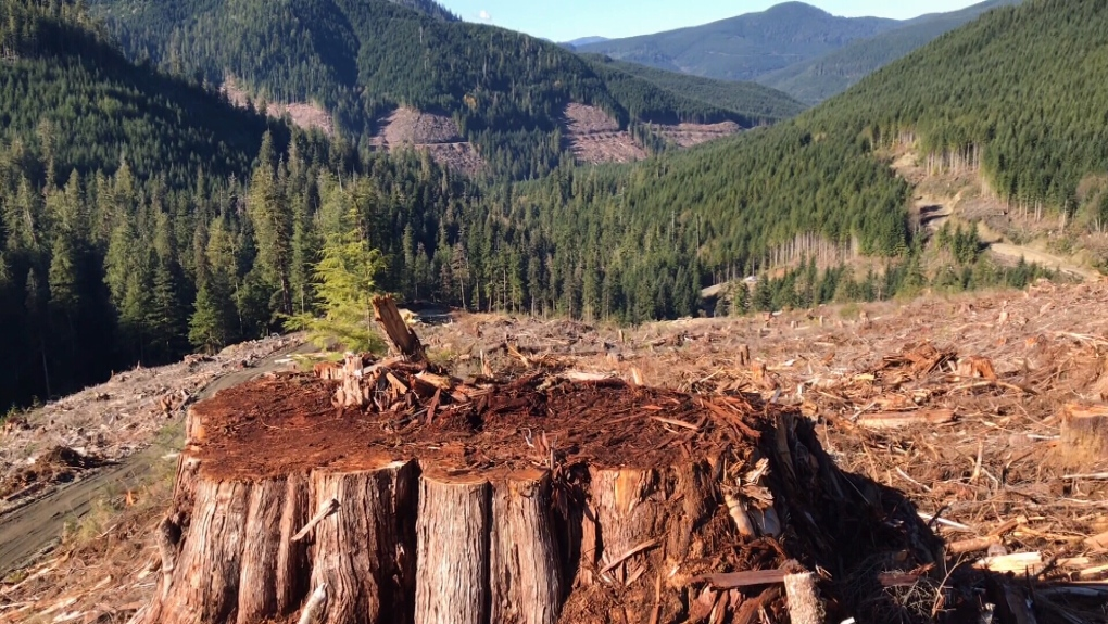 old growth logging forestry