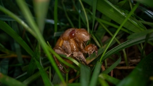 A cicada nymph moves in the grass, Sunday, May 2, 2021, in Frederick, Md. (AP Photo/Carolyn Kaster)