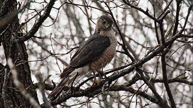 Cooper's Hawk spotted in Assiniboine Park. Photo by Allan Robertson.