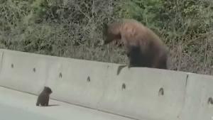Mama bear in action: Cubs helped across highway