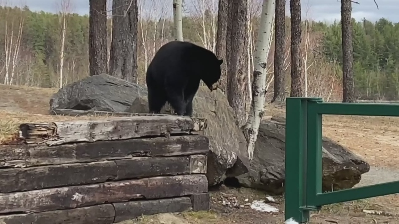 Caught on camera: black bear chases squirrel