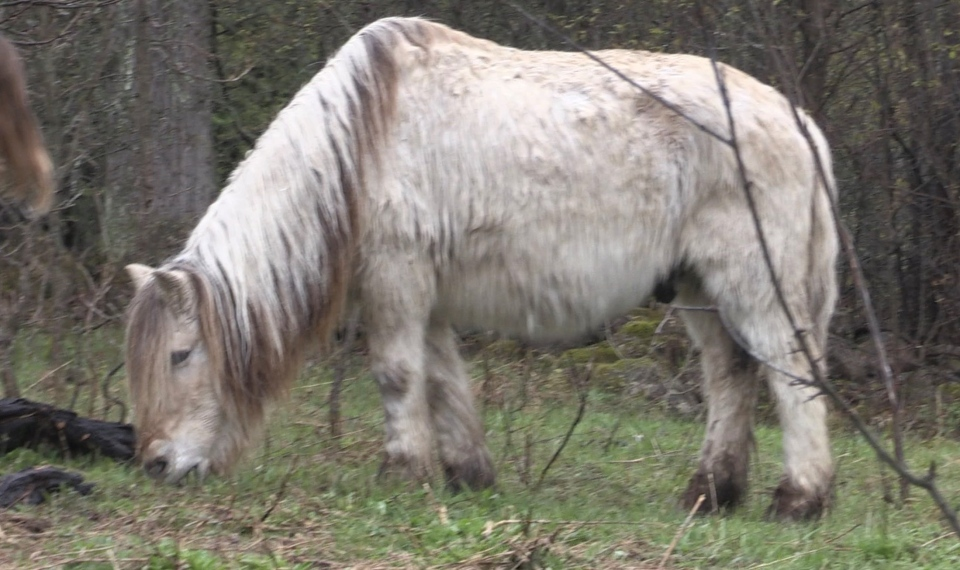 Mathew Ricard's therapy horse, Hans, died shortly after the family departed for New Brunswick. (Roger Klein/CTV News)