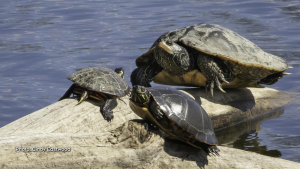 Map and Painted Turtles share a log at Petrie Island. (Cindy Eastwood/CTV Viewer)