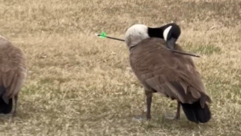 A Canada goose got a new lease on life after it was found walking around with an arrow lodged in its wing. (Source: Evan Kerr)