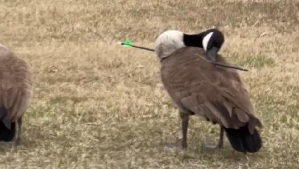 Canada goose arrow