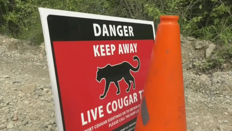 Cougars destroyed after attack on woman