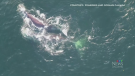 Two more right whales seen in Canadian waters