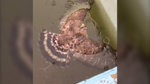 U.S. woman rescues hawk from her swimming pool