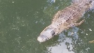 Gator found bound with tape on eyes and mouth