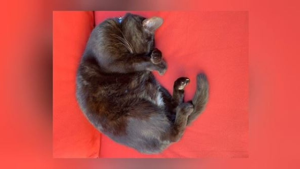 Penelope the cat is shown. Police say she is now considered missing and not stolen: (Submitted)