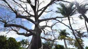 Rich people in Florida are buying 'trophy trees'