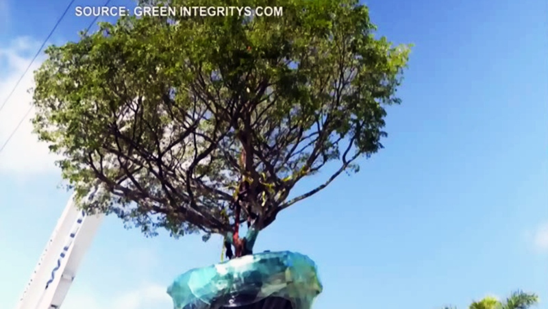 Green Integrity's team moving a 'trophy tree'. (Green Integrity's)