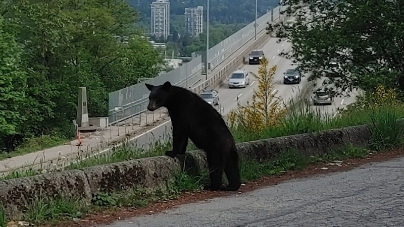 Gastown bear back in the wild