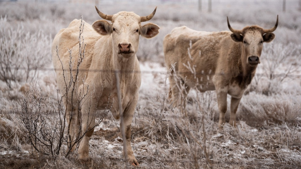 Cattle grazing in Midland, Texas