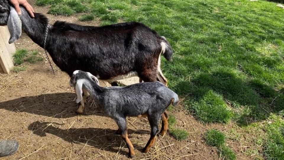 Juniper the goat