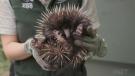Meet a rare baby echidna puggle