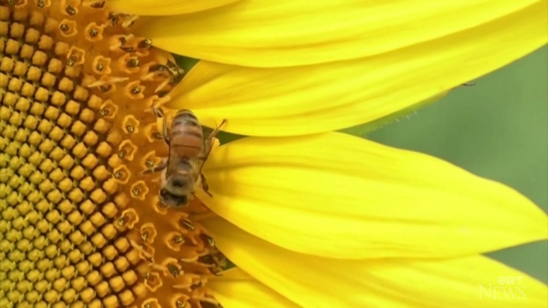 Researchers train bees to detect COVD-19