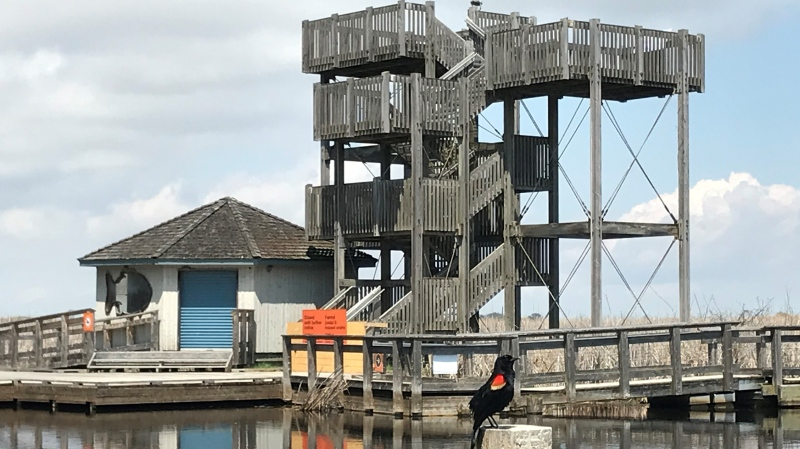 Observation tower at the marsh boardwalk in Point Pelee National Park on Friday, May 7, 2021. (Michelle Maluske / CTV Windsor)