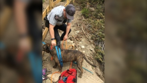 Chevy, an 80-pound American bulldog terrier cross, got stuck while on a hike with her owners near Mimi Falls. (Margot Wikjord/RCMP handout)