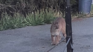 A Duncan resident captured a photo of the cougar spotted in the area on Wednesday. (Rosemary Watson)