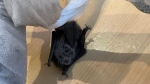 A Kitchener woman found a dead bat in her furniture delivery (Supplied: Laura Malek)