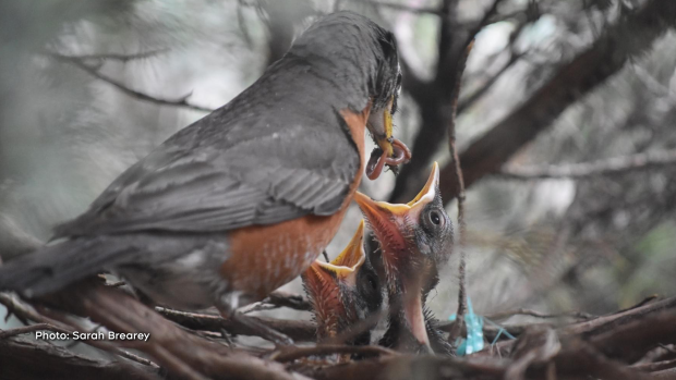 Mama Robin delivering a snack to her babies. We love watching them grow and develop. (Sarah Brearey/CTV Viewer)