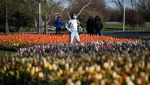 A person walks among beds of tulips at Commissioner's Park in Ottawa, Sunday, May 2, 2021, ahead of the Canadian Tulip Festival which takes place from May 14 to 24. (Justin Tang/THE CANADIAN PRESS)