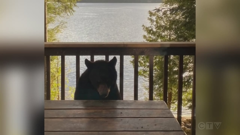 A young bear visits a home on Moose Lake in Haliburton, Ont. on Thurs. May 6, 2021 (Brian and Wendy Campbell)