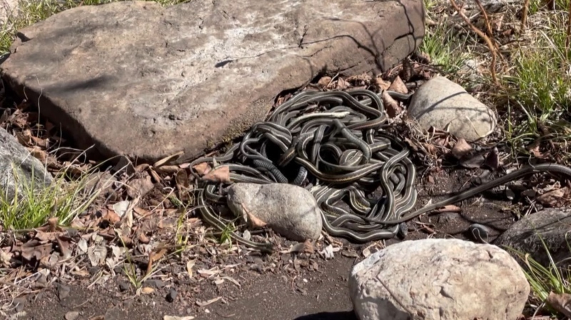Snakes return to Fort Livingstone