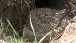 Teen's run-in with a rattlesnake