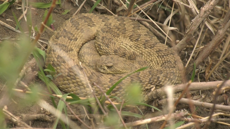 A rattlesnake in its den near Lethbridge.