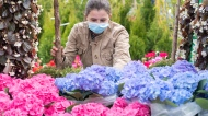 Leylia Petryk looks at flowers while working at a flower stand at the Atwater Market in Montreal, Saturday, May 8, 2021, as the COVID-19 pandemic continues in Canada and around the world. THE CANADIAN PRESS/Graham Hughes