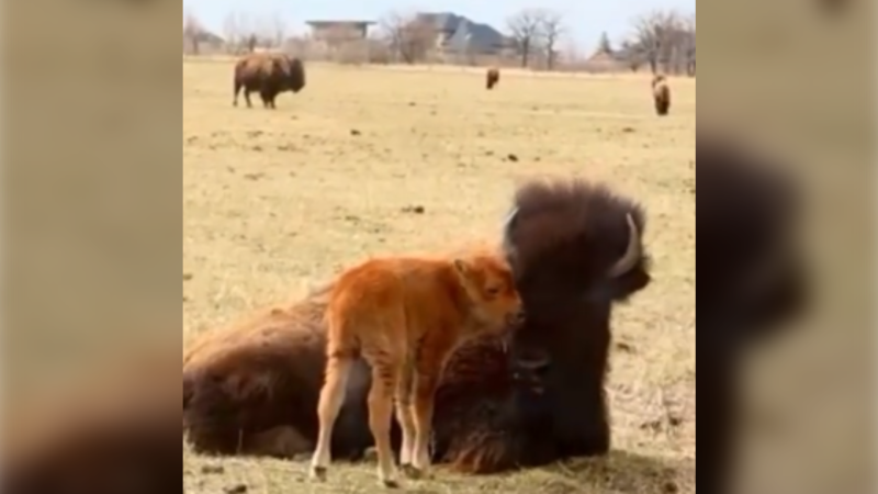 Baby bison born on Mother's Day (Source: Instagram/ FortWhyte Alive)