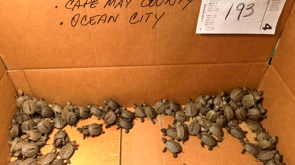 rescued baby turtles in a box
