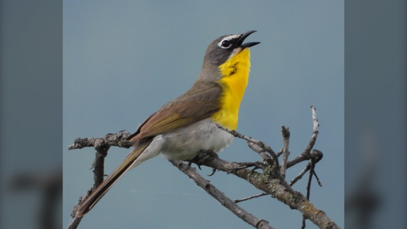An adult male yellow-breasted chat is shown in this undated photograph on lands protected in collaboration between the En'owkin Centre and Penticton Indian Band with support through ECCC. The rescue from near extinction for a little yellow bird hinges on the wild rose in British Columbia's Okanagan Valley, a researcher says. THE CANADIAN PRESS/HO, A. Michael Bezener/ En'owkin Centre 2020