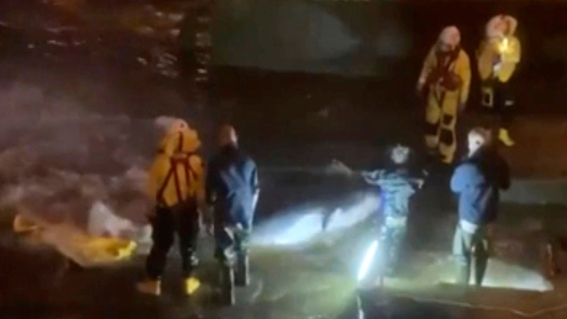 In this image from video, a rescue crew attempt to move a stranded whale to safety at Richmond Lock, London, on May 9, 2021. (Gareth Furby via AP)