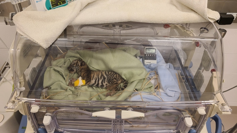 The Toronto Zoo has announced one of three Amur tiger cubs born April 30 has died. (Source: The Toronto Zoo)