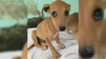 Dog rescue operation from Barbados to Canada