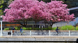 Blooming trees along the Rideau Canal. (Julien Laporte/CTV Viewer)