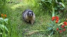 Roger the Marmot is back walking through the gardens of the Fairmont Empress after his seasonal hibernation: (CTV News)