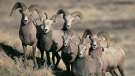 This undated photo provided by the North Dakota Game and Fish Department shows a group of bighorn sheep in North Dakota. Alberta's environment department has known for years that toxins from old coal mines are contaminating populations of the province's official animal, the Bighorn sheep. THE CANADIAN PRESS/AP-Craig Bihrle/North Dakota Game and Fish Department via AP, File