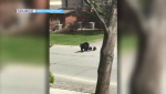 A Sudbury, Ont. man caught a mama black bear and her three cubs crossing a residential street in broad daylight on video. April 20/21 (Don MacEwan)