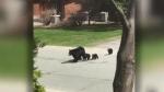 Family of four black bears on Grandview Blvd. in New Sudbury. April 20/21 (Don MacEwan)