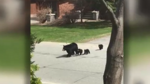 Family of four black bears on Grandview Blvd. in New Sudbury. April 20/21 (Don MacEwan)