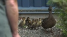 The female mallard and her six babies were discovered Thursday at Mark R. Isfeld Secondary in Courtenay. (CTV News)