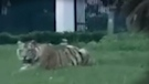 There's a tiger on the loose in Houston